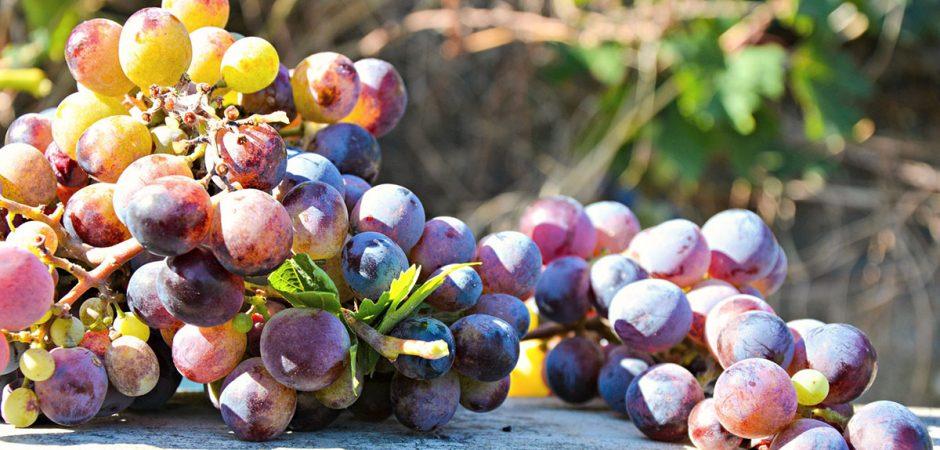 Grape Varieties Red Wine